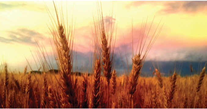 Golden wheat at sunset in the summer before harvest.